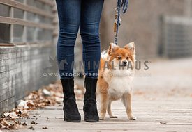A pomeranian dog on a walk