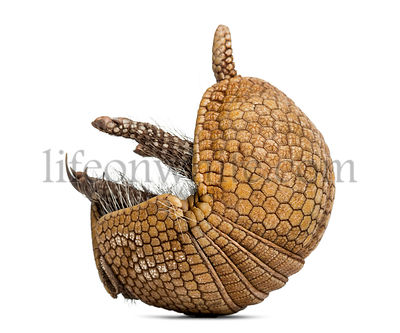 Brazilian three-banded armadillo rolling, Tolypeutes tricinctus - 4 years old