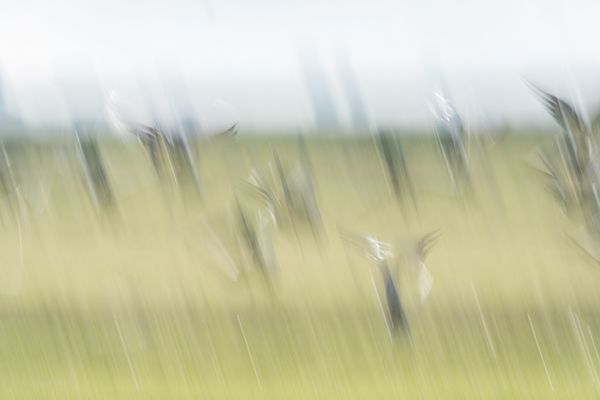 Geese taking off - abstract - soft green