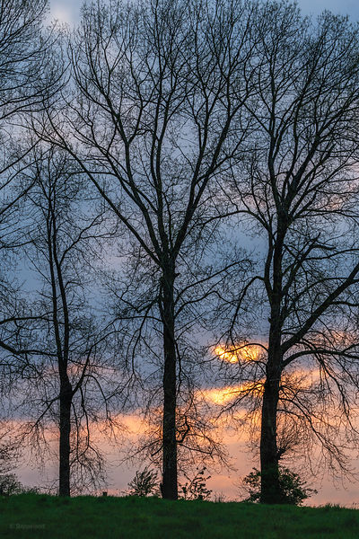 Silhouettes of poplar trees at sunrise