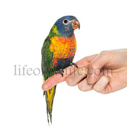 Rainbow Lorikeet perched on a finger