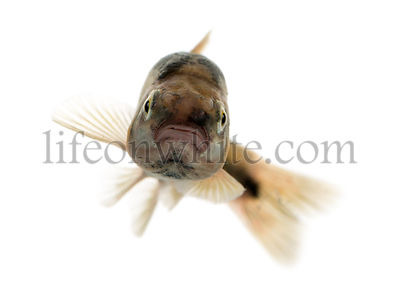 Front view of an Eurasian minnow swimming, Phoxinus phoxinus, isolated on white