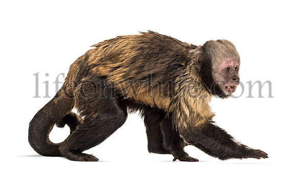 Golden-Bellied Capuchin, Sapajus xanthosternos, also known as the yellow-breasted or buffy-headed capuchin walking against wh...