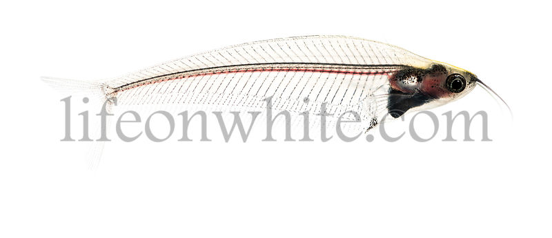 Side view of a Ghost catfish, Kryptopterus minor, isolated on white