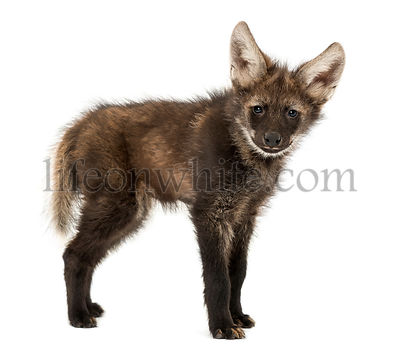Side view of a Maned Wolf cub looking at the camera, Chrysocyon brachyurus, isolated on white