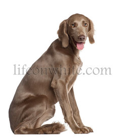 Portrait of Weimaraner, 8 months old, sitting in front of white background