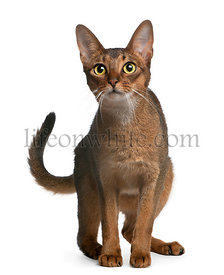 Abyssinian Cat, 14 months old, standing in front of white background