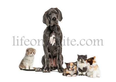 Great Dane sitting, Exotic Shorthair kitten, European Shorthair kitten, Highland straight kitten, in front of white background