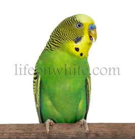 Close-up of Perched Budgie with beak open on white background
