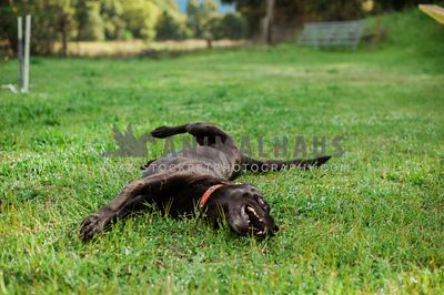 A happy black dog rolling in the green grass
