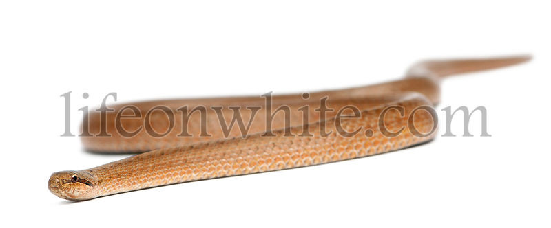 Smooth snake, Coronella austriaca, in front of white background