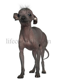 Chinese hairless crested dog, 5 years old, standing