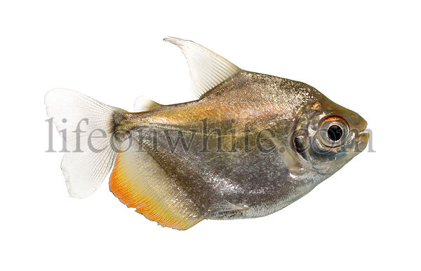 Side view of a Mylossoma aureum, isolated on white