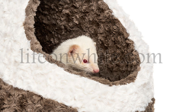 White Ferret in its basket