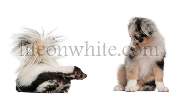 Blue Merle Australian Shepherd puppy, 10 weeks old, looking at Striped Skunk, Mephitis Mephitis, 5 years old, sitting in fron...