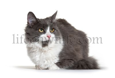 Kitten Crossbreed cat white and grey