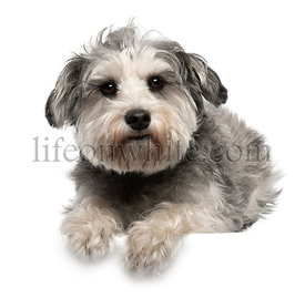 Miniature Schnauzer, 3 years old, lying in front of white background