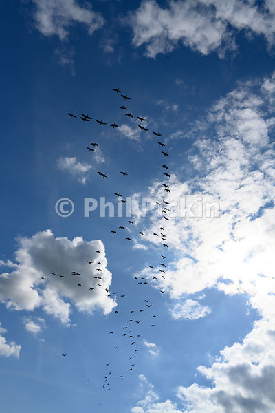 Mixed flock of gesse flying over farmland on a sunny day in England.