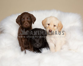 Three labradoodle puppies on white blanket in studio