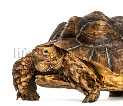 Close-up of an African Spurred Tortoise looking at the camera, Geochelone sulcata, isolated on white