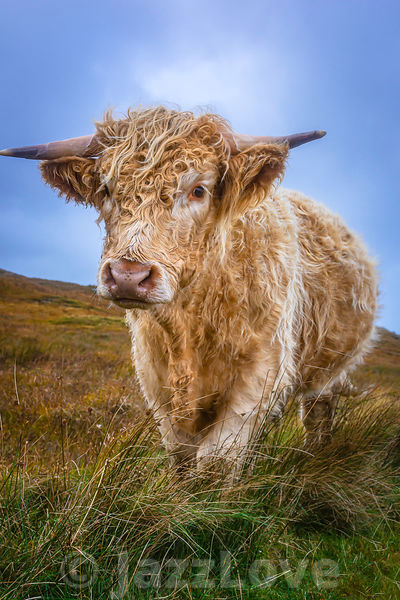 Cuddly highland cow standing on pasture and looking at camera.