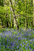 Woodland in late spring, with Bluebells covering the woodland floor. Littledale, Lancashire, UK.