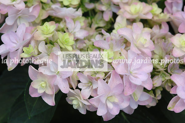 Hydrangea You & Me 'Passion'. Plantarium. Hollande