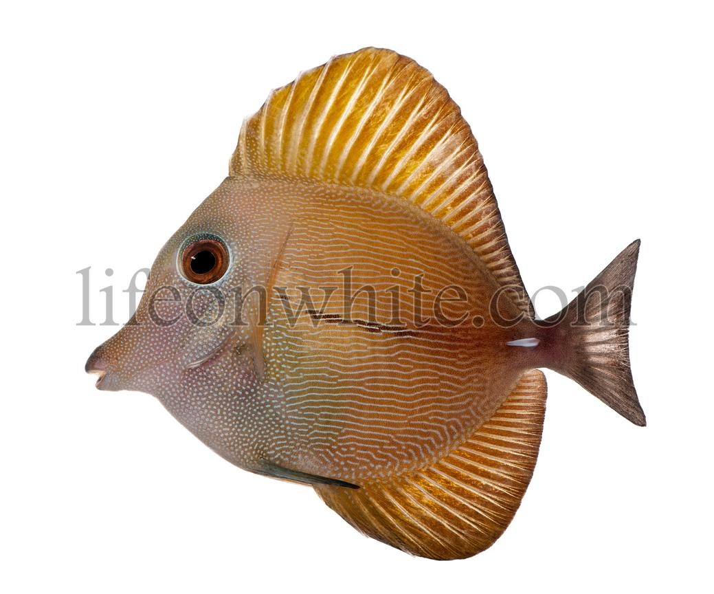 Scopas Tang or Twotone Tang, Zebrasoma scopas, in front of white background