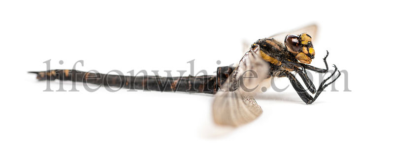Side view of a dead Cordulegaster bidentata, isolated on white