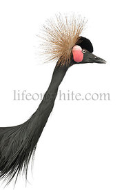Black Crowned Crane, Balearica pavonina, 15 years old, close up against white background