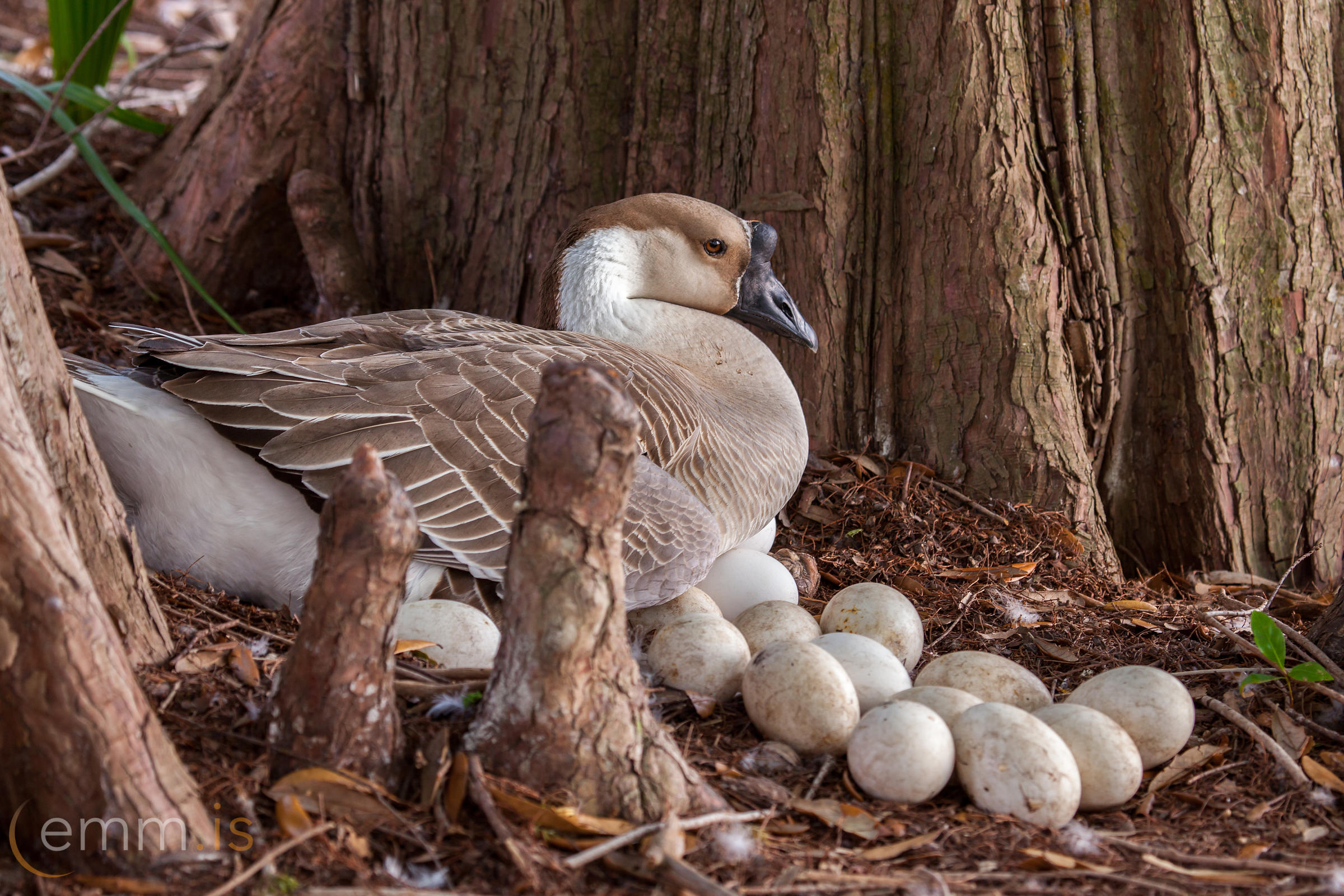 African_Geese_lying_on_eggs_in_Florida-_emm.is
