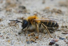 Closeup of a male White bellied mining bee , Andrena gravida.