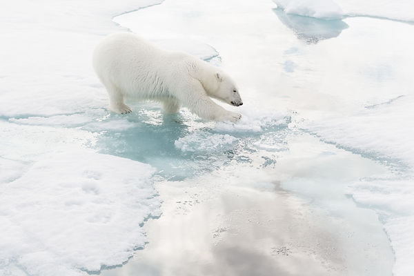 Polar Bear Walking On Ice III