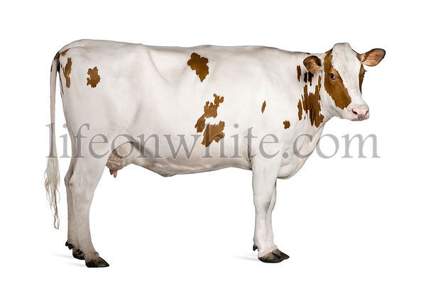 Holstein cow, 4 years old, standing against white background