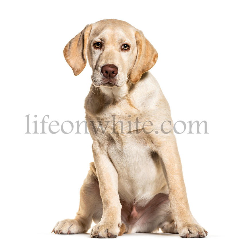 Sitting Labrador, isolated on white