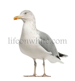European Herring Gull, Larus argentatus, 4 years old, standing against white background