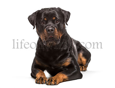Rottweiler dog , 2 years old, lying against white background
