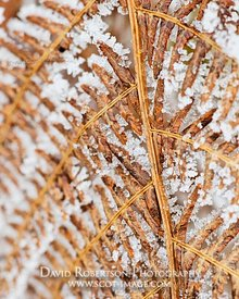 Image - Frost covered bracken in winter