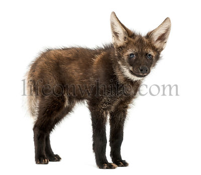 Maned Wolf cub standing, Chrysocyon brachyurus, isolated on white