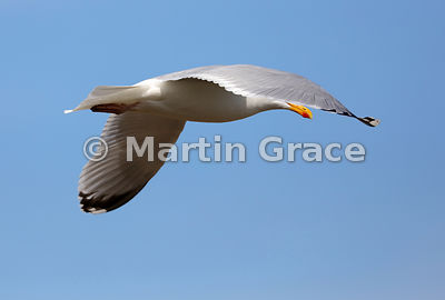 European Herring Gull (Larus argentatus ssp argenteus) in flight, Burghead, Moray, Scotland. Most of the head is obscured by ...