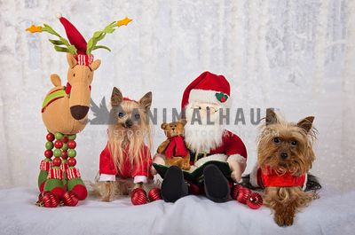 Yorkshire terrier with Santa