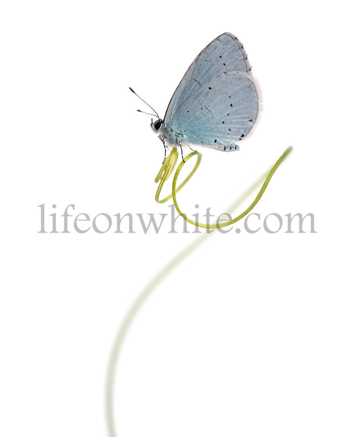 Side view of a Holly Blue landed on a plant stalk, Celastrina argiolus, isolated on white