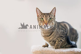 Tabby cat on a cat tree looking directly at the camera on a white background