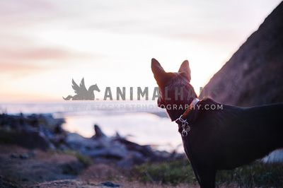 A black dog looking out over the ocean at sunset