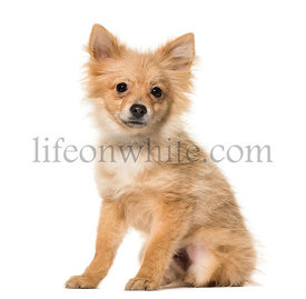 Pomeranian puppy , 5 months old, sitting against white background