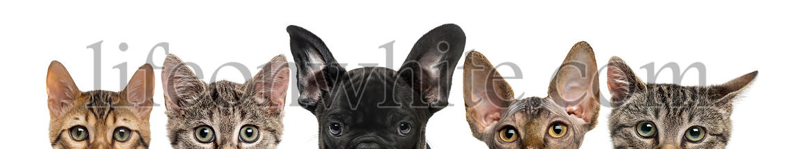 Close-up of upper heads of cats and dog, isolated on white