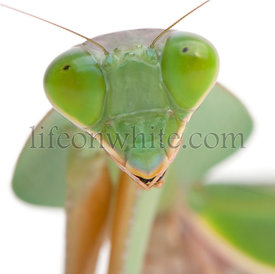 Close-up of Female Praying Mantis, Rhombodera Basalis, in front of white background
