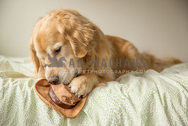Golden retriever holding hat toy with paw while chewing