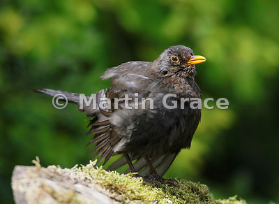 Female Common Blackbird (Turdus merula) spreads her feathers to dry in the sunshine after bathing, Lake District National Par...