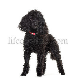 Poodle standing against white background